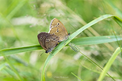 Spring Time! (mitelski) Tags: butterfly featured nature outdoor summer rewal województwozachodniopomorskie poland pl butterflies macro wildlife photograph pics travel spring close up closeup green grass beautiful springtime life earth macrophotography