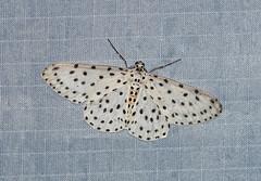 Percnia foraria (creaturesnapper) Tags: moths asia malaysia frasershill stephensplace lepidoptera insects geometridae percniaforaria nationalmothweek