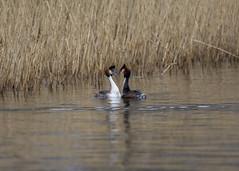 gcg pair (alderson.yvonne) Tags: bird spring yvonne yvonnealderson pair courting courtship display