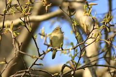 _MG_2295 (Nekogao) Tags: bird birds uk ukbirds britishbirds 鳥 鳥類 イギリス 自然 nature wildlife commonchiffchaff chiffchaff leafwarbler passerine チフチャフ