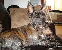 My Beautiful Boy (ttarpd) Tags: tigger dog pet canine faithful four legged friend companion scottish terrier jack russell domestic animal