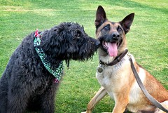 RESPECT (Bennilover) Tags: dogs park december christmas playing sniffing respect benni labradoodle ari belgianmalinois k9 deputy 52weeksfordogs