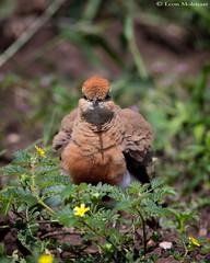 Temminck's Courser (leendert3) Tags: leonmolenaar southafrica krugernationalpark wildlife birds temminckscourser ngc npc