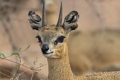 Saltarrocas (ik_kil) Tags: saltarrocas klipspringer oreotragusoreotragus karoonationalpark westerncape southafrica