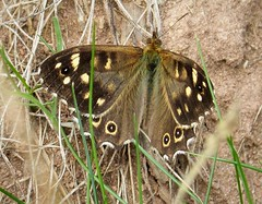 Speckled Wood. Pararge aegeria (gailhampshire) Tags: speckled wood pararge aegeria