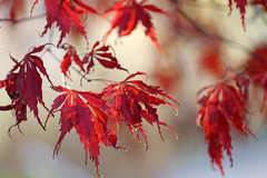 Japanese Maple (Mah Nava) Tags: maple ahorn japanesemaple autumn herbst red rot