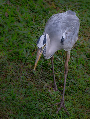 Grey heron in hunting posture (Robert-Ang) Tags: greyheron animalplanet wildlife nature heron bird animal chinesegarden singapore ardeacinerea
