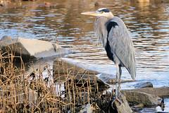 Great Blue Heron (Eric E Haas) Tags: lens sony70300mmgii animals ardeaherodias birds greatblueheron herons pelecaniformes havredegrace maryland unitedstates usa