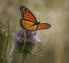 Never A King (Portraying Life, LLC) Tags: michigan unitedstates pentax k1 da3004 hd14tc ricoh teasel flower floret handheld closecrop nativelighting meadow summer