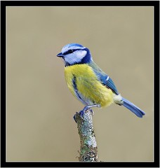 BLUE TIT (PHOTOGRAPHY STARTS WITH P.H.) Tags: blue tit stover park devon 500mm afs vr nikon sb800 for fill gitzo mk5 wimberley flash rig d4s better beamer extender
