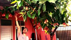 Jambu Air / Rose Apple (setiawanap) Tags: setiawanap setiawanapvlog indonesia tanaman tumbuhan daun bunga buah batang plants tree leaf flower fruit jambu air jambuair rose apple roseapple
