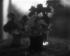 Plants (Vidwatts) Tags: aeroektar ilforddelta100 neofinblue speedgraphic winter