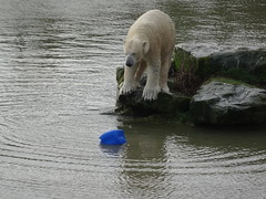 Preparing to launch (LadyRaptor) Tags: yorkshirewildlifepark yorkshire wildlife park doncaster ywp nature outdoors winter time water lake pool pond ripples reflection waves drops droplets wet fur rock rocks rocky island swim swimming dive diving play playing playful playtime studying watching toy enrichment relaxed happy content fun cute animal animals predator carnivore caniformia ursidae polarbear polarbears male polar bear bears ursus maritimus projectpolar nobby