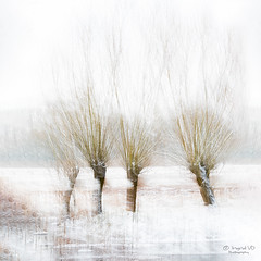 Four trees in a row (IngridVD. Photography) Tags: winter trees nature snow white wilgen leaves canon rivierenhof canon5dmkiv ingridvandamme 500px art icm colors green yellow dutch mist fog cold cool plant photography photo image