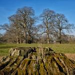 Chestnut Trees. thumbnail