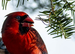 Shadowy Figure (114berg) Tags: 18february19 male northern cardinals basket feeder sunny day geneseo illinois
