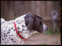 (jjhasse) Tags: pentax645 pentax provia100f provia fujifilm fuji dog germanshorthairedpointer