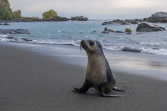 A beach to myself (Tim Melling) Tags: arctocephalus gazella antarctic fur seal south georgia gold harbour timmelling