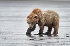 _HB31864 (Hilary Bralove) Tags: lakeclarknationalparkbrownbearsbearsalaskanikonwildlifegrizzlygrizzlybearbrownbearanimalswildlifephotographer alaksa brownbears grizzlybears bear bears grizzly brownbeargrizzly bearlake clarkwildlifealaska wildlifenikonlake clark national park