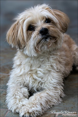 My Scruffy Boy... (angelakanner) Tags: canon70d buster dog pet scruffy cute