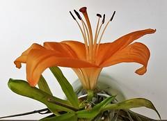 Lonesome Lily - Slán JK (Gilli8888) Tags: flowers flora lily petals newbigginbythesea newbiggin northumberland orange inside samsung cameraphone s7