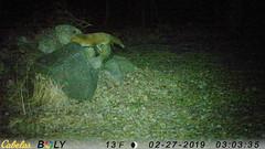 Red Fox - 02-27-2019 (blazer8696) Tags: 2019 brookfield ct connecticut ecw obtusehill stumptrailrock t2019 usa unitedstates vulpesvulpes camera fox game red redfox trail trap vulpes imag0435 rock sitting sittingrock