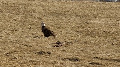 Lunch (matttimmons1) Tags: bald eagle lunch food nature circleoflife deer decay winter iowa