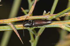 Click Beetle (jgruber111) Tags: elateridae coleoptera insect macro entomology clickbeetle