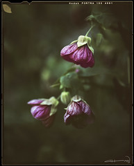 Hanging there (guillermohz) Tags: analogue kodakportra160 toyoviewcamera largeformatphotography 4x5film botanical filmphotography flowers