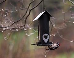 Downy in the rain (DeniseBeverly - dbvisualarts) Tags: downy woodpecker rain feeder bird birding