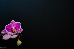 Bright and Beautiful (BGDL) Tags: lightroomcc nikond7000 bgdl niftyfifty nikkor50mm118gnikon orchid flower beauty