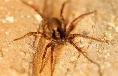 Wolfspider (Johan Leurelle) Tags: nature macro macrophotography samyang100mmmacro spiders