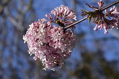 Bodnant-Schneeball (Viburnum ×bodnantense) im März; Bergenhusen, Stapelholm (6) (Chironius) Tags: stapelholm bergenhusen schleswigholstein deutschland germany allemagne alemania germania германия niemcy asterids campanuliids kardenartige dipsacales moschuskrautgewächse adoxaceae schneeball viburnum blüte blossom flower fleur flor fiore blüten цветок цветение rosa
