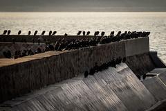川鵜ーGreat cormorants (kurumaebi) Tags: yamaguchi 秋穂 山口市 nikon d750 nature landscape birds 鳥 アオサギ サギ 流し撮り dusk 夕焼け 鵜