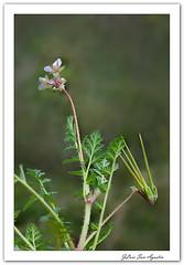 Erodium cicutarium. (JLuis San Agustín) Tags: 2018 flores flora plantas geraniaceas