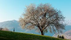 Mini-Me (Nicola Pezzoli) Tags: val gandino seriana bergamo italia italy nature spring leffe ceride san rocco tree man silhouette orobie flowers