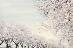 春が来た (あおい.) Tags: japan nature spring flower sakura 日本 自然 春 花 桜 film pentaxsp