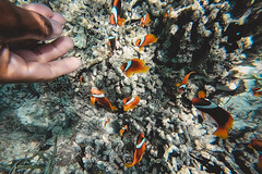 GOPV15181 (waychen_c) Tags: philippines ph visayas centralvisayas bohol provinceofbohol baclayon municipalityofbaclayon pamilacan pamilacanisland boholsea sea seascape coralreef coral fish clownfish tropicalfish cebutour2019 菲律賓 維薩亞斯 維薩亞斯群島 中維薩亞斯 保和 保和省 巴卡容 帕米拉坎 帕米拉坎島 珊瑚礁 珊瑚 熱帶魚 小丑魚 2019宿霧旅行 gopro goprohero7black tomatoclownfish 紅小丑 白條雙鋸魚 保和海