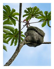 Sloth (wwarby) Tags: bogarinnaturetrail centralamerica costarica abroad animal bordered branches favourites holiday holiday2018costarica mammal outdoors plant sloth tree vacation wild wildlife