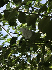 white morpho (h2kyaks) Tags: butterflyworld whitemorpho