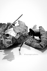 Still life. (lucyrogersphotography) Tags: macro lucyrogers nature stilllife leafleaves blackandwhite monochrome leaf leaves