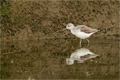 Greenshank on Emsworth slipper millpond (honda1998rrw) Tags: greenshank