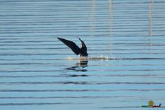 A-LUR_3801 (OrNeSsInA) Tags: aly passignano panicale natura panorami campagma campagna landescape trasimeno nikon canon airone airon cormorano spettacolo birdwatching albero cielo animale mare acqua uccello