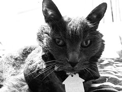 Argent (sjrankin) Tags: 18february2019 edited animal cat argent tunic bed bedroom upstairs kitahiroshima hokkaido japan grayscale closeup portrait