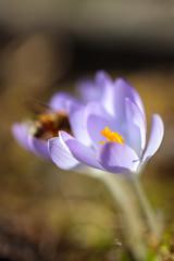 First Ones (Gr@vity) Tags: krokus macro flower spring eosr canon sigma70mmartmacro sigma70mm28 frühling dof bokeh