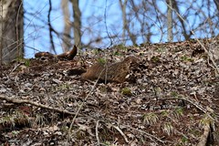 Groundhog_0662 (2)e (Porch Dog) Tags: 2019 garywhittington kentucky nikond750 nikkor200500mm february winter lbl landbetweenthelakes betweentherivers nature wildlife outdoors
