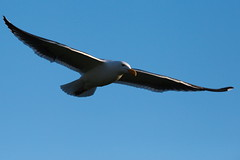 Sea Gull in flight over Lake Merced, California (jamestapatio) Tags: