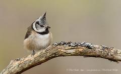 Crested Tit (www.facebook.com/PaulSmithWildlife) Tags: wildlife nature scotland highlands cairngorms springwatch