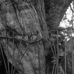 Impaled (4foot2) Tags: impaled fence stmaryschurchhaylingisland stmaryschurch haylingisland churchyard yew taxus taxusbaccata mir38bf3565mm mir38b f3565mm kiev kiev88cm 88cm киев88cm ukrainiancamera russianlens bw blackandwhite monochrome mono tmax kodaktmax tmax400 hc110 kodakhc110 kodak 2019 fourfoottwo 4foot2 4foot2flickr 4foot2photostream мир38в