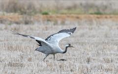 Common Crane (tickspics ) Tags: cranes birds commoncrane spain europe extremadura palazeulo eurasiancrane gruidae grusgrus